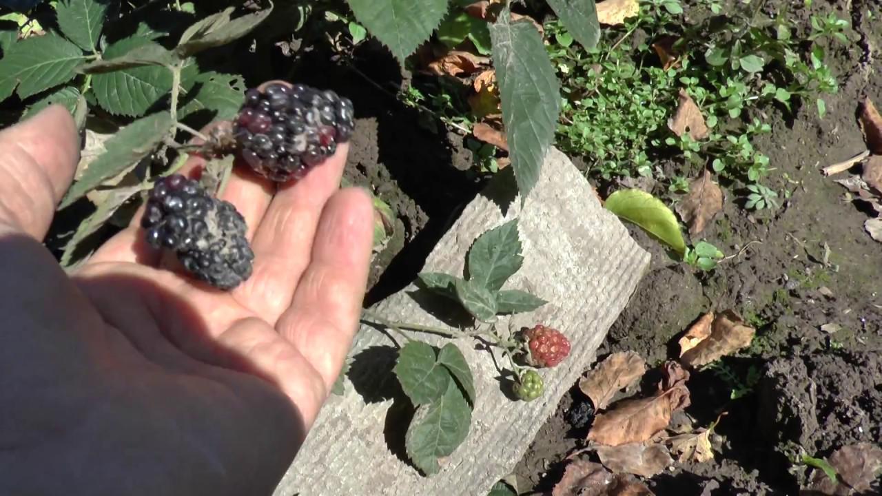 Заболевание растения и плодов