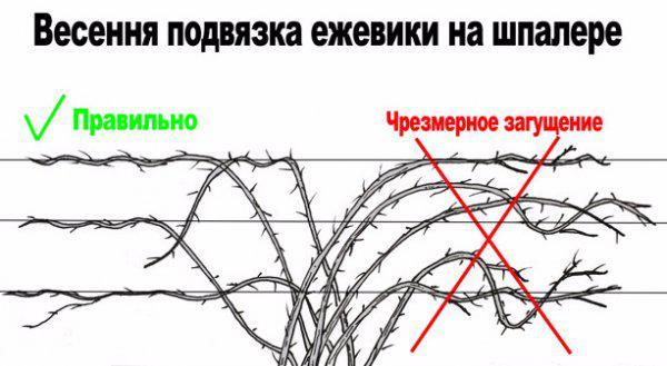 Схема подвязки растения