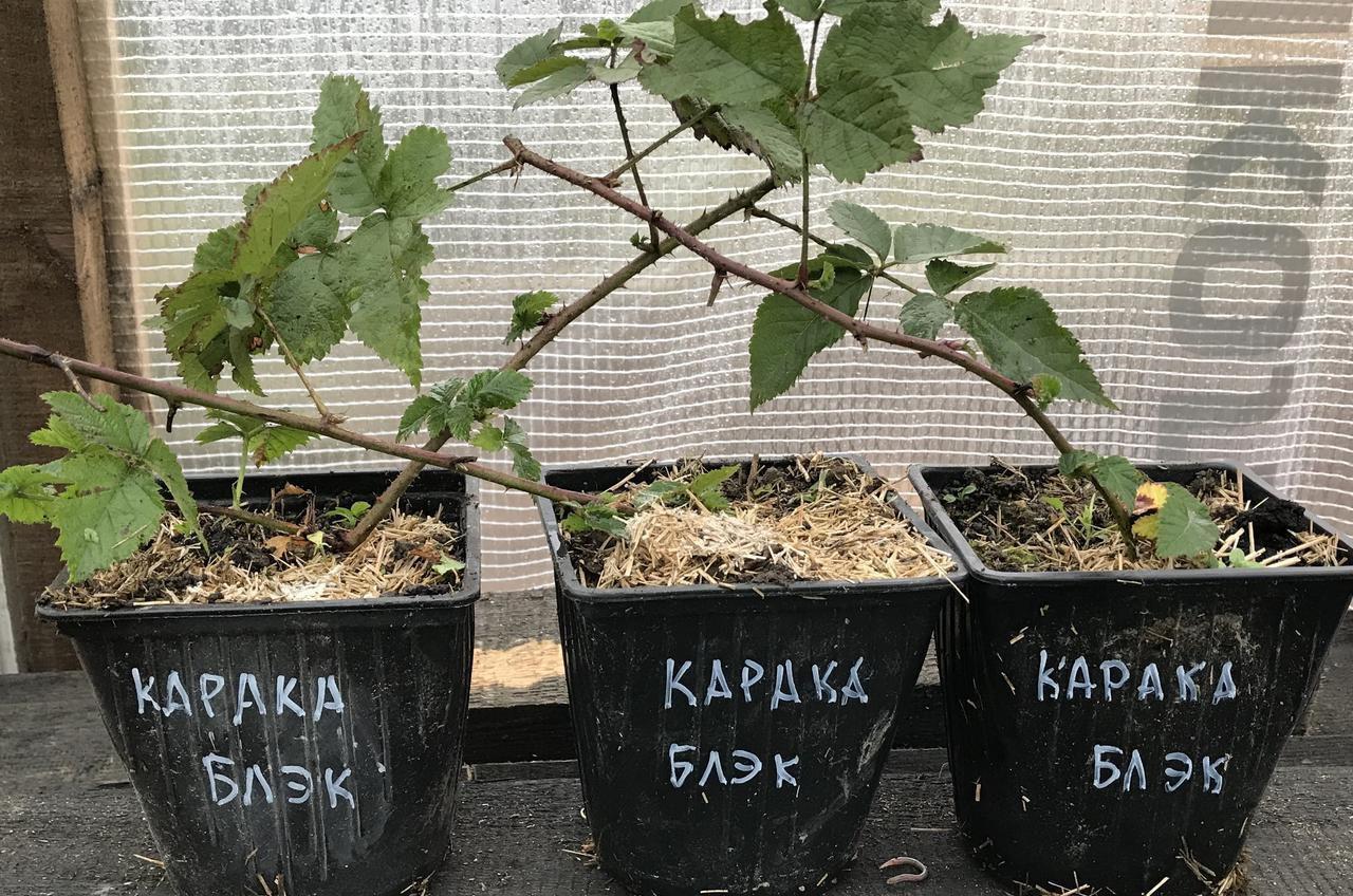 Саженцы ежевики Карака Блэк