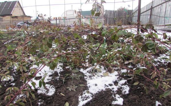 Подгоовка растения к зиме