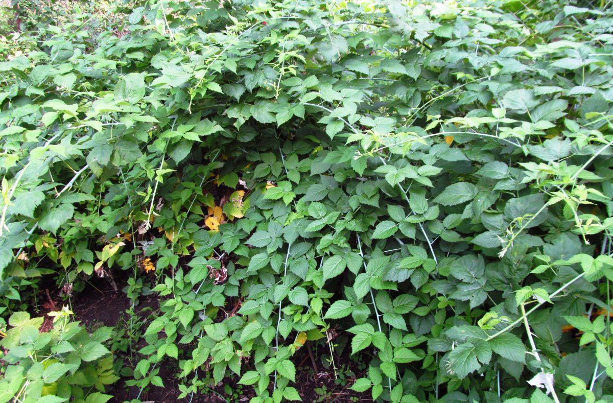 Как растет ежевика в саду