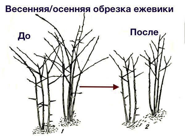 Обрезка весной и осенью
