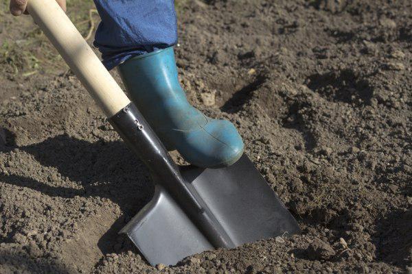 Как очистить огород от ежевики