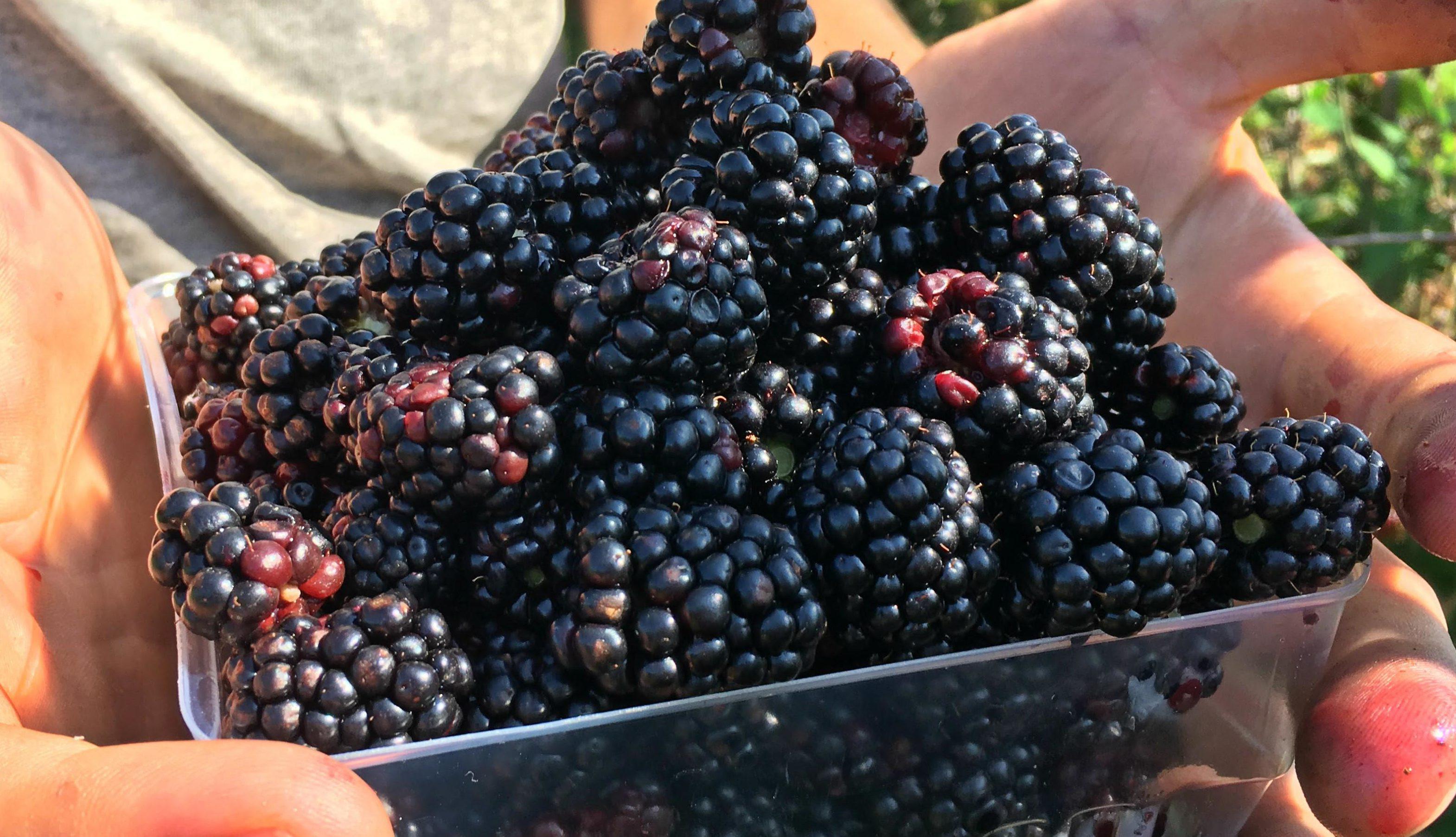 Вкусные плоды ежевики Честер
