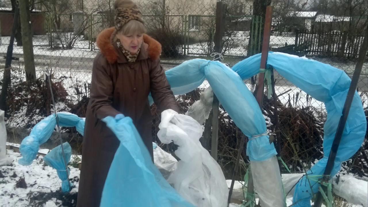 Как правильно укрыть ежевику на зиму