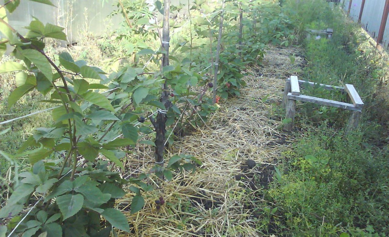 Ежевика на садовом участке