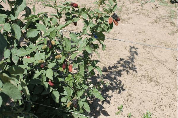 Как растет ежевика