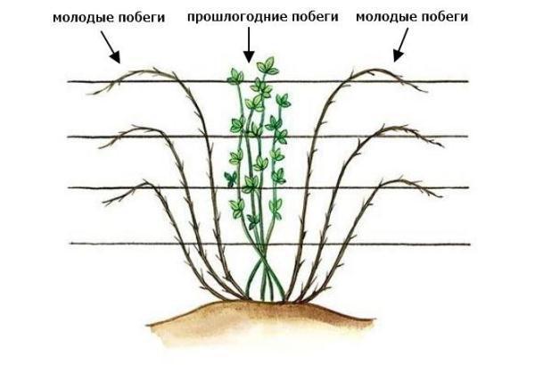 Как правильно выращивать ягодный куст